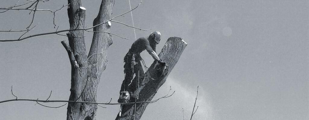 prořez stromu lípy  v Olešnici u Červeného Kostelce