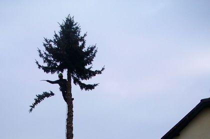 Strom v zástavbě ve Dvoře Králové, který nelze skácet ze země. Kvůli potenciálmím škodám na majektu se musí postupně odřezat.