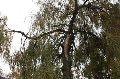 Odlomená větev velikosti malého stromu vrby na Malé Skále.