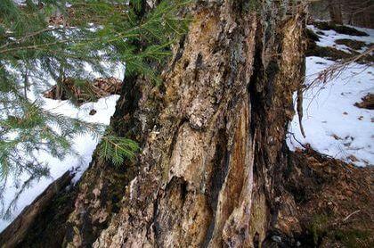 Buk v Maršově napadený cizopasnou houbou, která zapříčinila rychlý konec dřeviny.